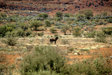 Wild Horse in the Outback Stretched Canvas Print