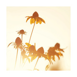 Sundown Flowers Giclee Print by Mandy Lynne