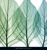 Celosia Leaves II 高品質プリント : スティーヴン N. マイヤーズ