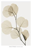 Eucalyptus Leaves Print by Steven N. Meyers