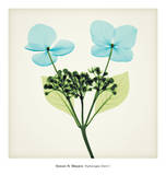 Hydrangea Stem I Prints by Steven N. Meyers
