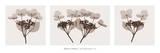 Hydrangea Stems Trio Kunstdrucke von Steven N. Meyers
