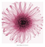 Steven N. Meyers - Dahlia (Raspberry) Umění