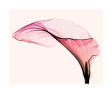 Giant Calla (small) Poster af Steven N. Meyers