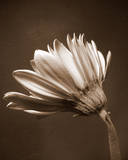Sepia Flower II Posters by Gail Peck