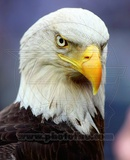 American Bald Eagle Photo