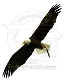 American Bald Eagle 写真