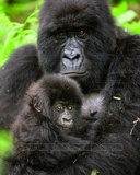 Gorillas Photo