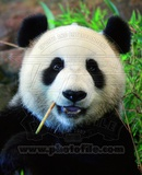 Panda Bear Fotografía