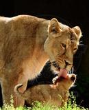 Lions Photo