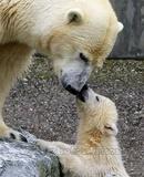 Osos polares Fotografía