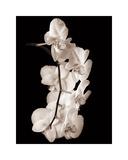 Orchid Dance I Giclée-tryk af John Rehner