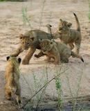 Lion Cubs Photo