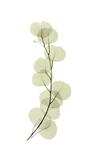 Eucalyptus Giclee Print by  Acee