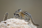 Two Least Chipmunk (Tamias Minimus), Custer State Park, South Dakota, United States of America Photographic Print by James Hager