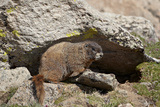 Yellow-Bellied Marmot (Yellowbelly Marmot), Mt Evans, Arapaho-Roosevelt Nat'l Frst, Colorado, USA Photographic Print by James Hager