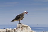 Heermann's Gull (Larus Heermanni), Isla Rasa, Gulf of California (Sea of Cortez), Mexico Photographic Print by Michael Nolan