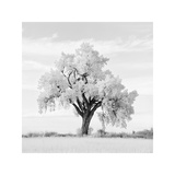 Oak Tree Giclee Print by Jean Miele