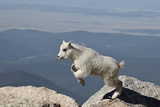 Mountain Goat Kid Jumping, Mt Evans, Arapaho-Roosevelt Nat'l Forest, Colorado, USA Photographic Print by James Hager