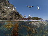 Underwater Photo of Anacapa Arch, Kelp and Birds, Channel Islands National Park, California, USA Photographic Print by Antonio Busiello