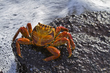 Sally Lightfoot Crab (Grapsus Grapsus), Punta Cormorant, Floreana Island, Galapagos Isl., Ecuador Photographic Print by Michael Nolan