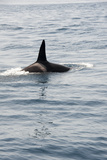 Orca (Killer Whale) in the Straits of Gibraltar, Europe Photographic Print by Lisa Collins
