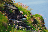 Two Puffins, Westray, Orkney Islands, Scotland, United Kingdom, Europe Photographic Print by Bhaskar Krishnamurthy