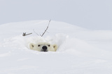 Polar Bear (Ursus Maritimus), Wapusk National Park, Churchill, Hudson Bay, Manitoba, Canada Photographic Print by David Jenkins