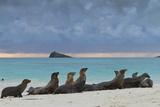Galapagos Sea Lions (Zalophus Wollebaeki), Gardner Bay, Espanola Islands, UNESCO Site, Ecuador Fotodruck von Michael Nolan