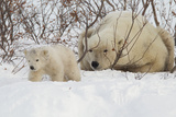 Polar Bear (Ursus Maritimus) and Cub, Wapusk National Park, Churchill, Hudson Bay, Manitoba, Canada Photographic Print by David Jenkins