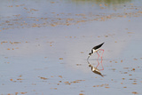 Adult Black-Necked Stilt, Wading and Feeding, Punta Cormorant, Floreana Island, Ecuador Photographic Print by Michael Nolan
