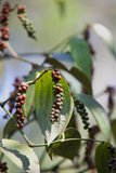 Peppercorn Plant, Kerala, India, Asia Photographic Print by Martin Child