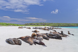 Galapagos Sea Lions (Zalophus Wollebaeki), Gardner Bay, Espanola Islands, UNESCO Site, Ecuador Photographic Print by Michael Nolan