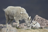 Mountain Goat Juvenile and Kid, Mt Evans, Arapaho-Roosevelt Nat'l Forest, Colorado, USA Photographic Print by James Hager