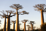 The Alley of the Baobabs (Avenue de Baobabs), Between Morondava and Belon'I Tsiribihina, Madagascar Photographic Print by J P De Manne