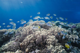 School of Sergeant Major Fish over Pristine Coral Reef, Jackson Reef, Off Sharm El Sheikh, Egypt Photographic Print by Mark Doherty