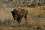 Bison in the Lamar Valley, Yellowstone National Park, UNESCO World Heritage Site, Wyoming, USA Photographic Print by Peter Barritt