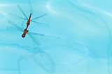 Dragonflies Mating, Santa Cruz Island, Galapagos Islands, Ecuador, South America Photographic Print by Michael Nolan