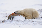 Polar Bear Resting, Churchill, Hudson Bay, Manitoba, Canada, North America Photographic Print by Bhaskar Krishnamurthy