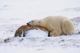 Polar Bear Resting, Churchill, Hudson Bay, Manitoba, Canada, North America Photographic Print by Bhaskar Krishnamurthy