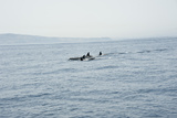 Orcas in the Straits of Gibraltar, Europe Photographic Print by Lisa Collins