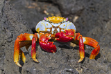 Sally Lightfoot Crab (Grapsus Grapsus), Cerro Dragon, Santa Cruz Island, Galapagos Islands, Ecuador Photographic Print by Michael Nolan