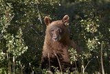Cinnamon Black Bear (Ursus Americanus), Glacier National Park, Montana, United States of America Photographic Print by James Hager