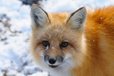 Red Fox, Wapusk National Park, Manitoba, Canada, North America Photographic Print by Bhaskar Krishnamurthy