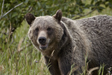 Grizzly Bear (Ursus Arctos Horribilis), Glacier National Park, Montana, United States of America Photographic Print by James Hager