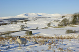 Black Faced Sheep with Cairnsmore of Fleet in Snow, Laghead, Dumfries and Galloway, Scotland, UK Photographic Print by Gary Cook