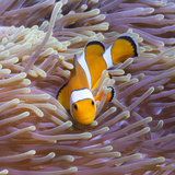 Western Clown Anemonefish and Sea Anemone (Heteractis Magnifica), Southern Thailand Photographic Print by Andrew Stewart