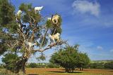 Goats on Tree, Morocco, North Africa, Africa Fotografisk tryk af Jochen Schlenker