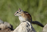 Colorado Chipmunk (Eutamias Quadrivittatus), San Juan National Forest, Colorado, USA Photographic Print by James Hager