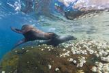 Galapagos Sea Lions (Zalophus Wollebaeki) Underwater, Guy Fawkes Isl., Galapagos Isl., Ecuador Photographic Print by Michael Nolan